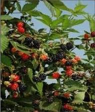 Blackberry, Ouachita, 1 gal
