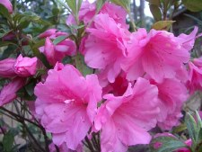 Azalea, Pink Ruffle, 3 gal