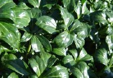 Pachysandra Green Sheen, 1 gal