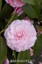 Camellia, Pearl Maxwell, 5 gal