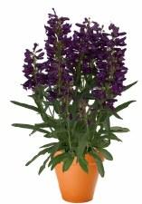 Penstemon, Pristine Lilac P 1g