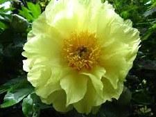 Peony, Garden Treasure, itoh3g