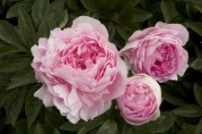 Peony, Lady Orchid, 2 gal