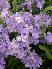 Phlox, Creep. Blue Moon, 1gal