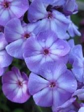 Phlox, Blue Paradise, 1or2g