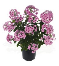 Phlox, Early Start Pink, 1gal