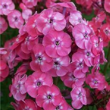 Phlox, Junior Dance 1 or 2 gal
