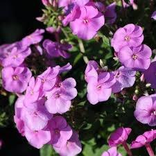Phlox, KaPow Lavender 1 gal