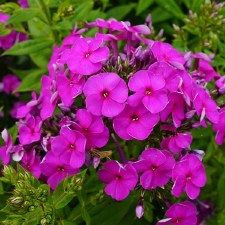 Phlox, KaPow Purple, 1 gal