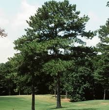 Pine, Loblolly, 3 gal