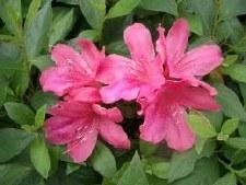 Azalea, Pink Formosa, 3 gal