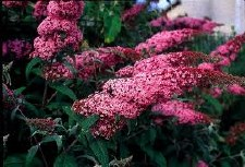 Buddleia, Pink Delight, 3 gal