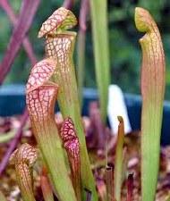 "Pitcher Plant, Scarlet B. 3.5"""