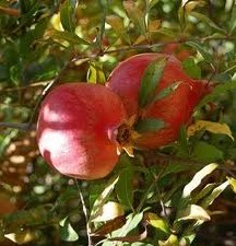 Pomegranate, Wonderful, 3 gal