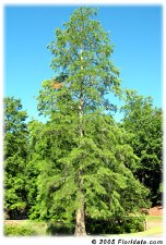 "Cypress, Pond, 2-2.5"""