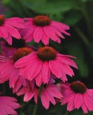 Coneflower, PowWowWildBer,1or2