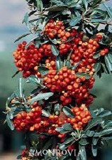 Pyracantha, Mohave ESP, 5 gal
