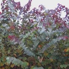 Redbud, Burgundy Hearts, 5g