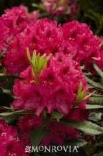 Rhododendron, Nova Zembla, 2g