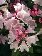 Rhododendron, Yaku Princess 5g