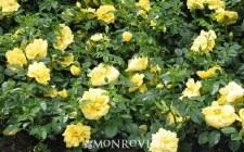 Rose, Carpet, Yellow, 2g