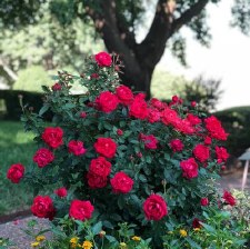 Rose, Champion Red, 3g
