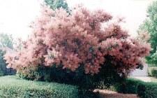 Smoketree, Royal Purple, 5 gl