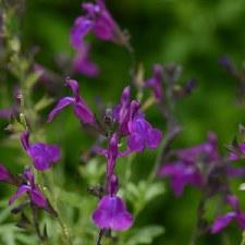 Sage, Mirage Purple, 1g