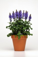 Salvia, Blue Marvel, 1or2 gal