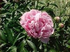 Peony, Sarah Bernhardt, 2 gal