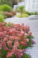 Sedum, Autumn Joy, 1or2g