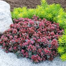 Sedum, Blue Elf, 1or2gal
