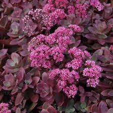 Sedum, Firecracker, 1or2gal