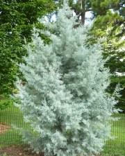Cypress, Silver Smoke AZ, 5gal
