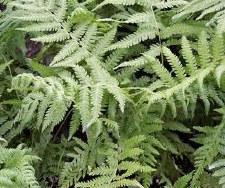Fern, Southern Wood, 1g