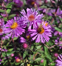 Aster, Color Wheel, 1 gal