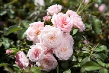 Rose, Drift® Sweet, 2or3 gal