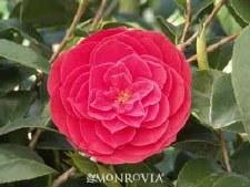 Camellia, Tom Knudsen, 5g