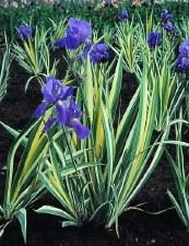 Iris, Albovariegata, P, 1/2g