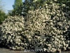 Viburnum, Spring Bouquet, 5 gl