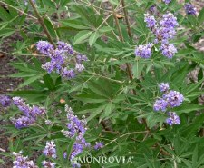 Vitex, Shoal Creek, 15 gal