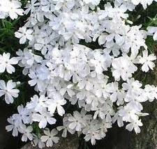 Phlox, Creep. White, 1 gal