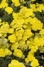 Yarrow, Moonshine, 1or2gal
