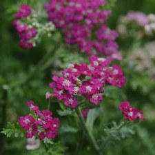 Yarrow, New Vintage Violet, 1g
