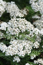 Yarrow, New Vintage White 1g