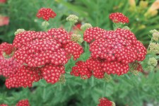 Yarrow, Red Velvet, 1g