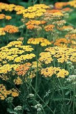 Yarrow, Terracotta, 1 gal