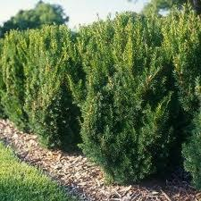 Yew, Hicks, 3 gal