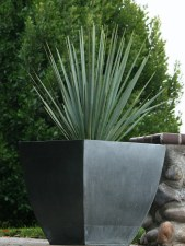 Yucca, Blue Sentry, 3or5 gal