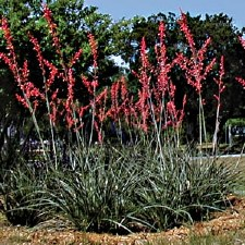 Yucca, Red, 3g